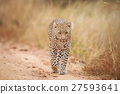 Leopard walking towards the camera. 27593641
