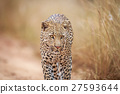Leopard walking towards the camera. 27593644