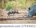 African wild dog and a white rhino at a waterhole. 27593652