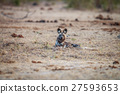 African wild dog laying in the grass. 27593653