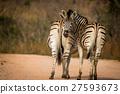Two bonding Zebras. 27593673