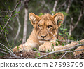 Lion cub starring at the camera. 27593706