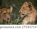 Two Lion cubs resting in the grass. 27593714