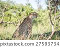 치타, 동물, 야생 27593734
