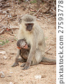 Mother Vervet monkey with a baby. 27593778