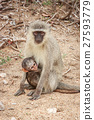 Mother Vervet monkey with a baby. 27593779