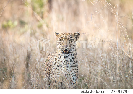 A Leopard blending in in the high grass. 27593792