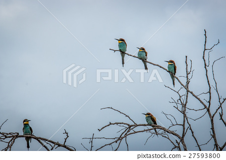 Five European bee-eaters sitting on a branch. 27593800