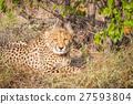 치타, 동물, 야생 27593804