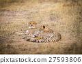 치타, 동물, 야생 27593806