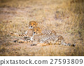 Two Cheetahs laying in the grass. 27593809