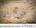 치타, 동물, 야생 27593811