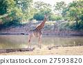 Giraffe at a waterhole. 27593820