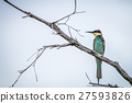 European bee-eater standing on a branch. 27593826
