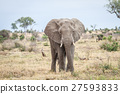 Elephant starring at the camera. 27593833