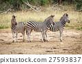Three starring Zebras. 27593837