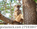 Young Baboon sitting in a tree. 27593847