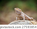 Bearded dragon on a rock. 27593854