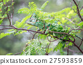 Veiled Chameleon hiding on a branch. 27593859
