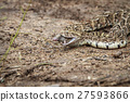 Puff adder feeding on a mouse. 27593866
