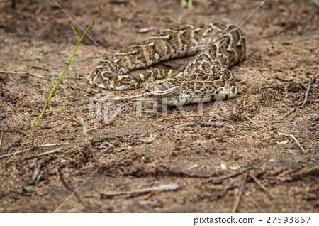 Puff adder feeding on a mouse. 27593867