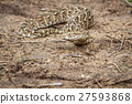 Puff adder feeding on a mouse. 27593868