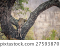 Leopard in a tree with a Zebra kill. 27593870