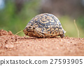 Leopard tortoise walking on the road. 27593905