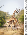 Two Giraffes fighting. 27593906