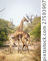 Two Giraffes fighting. 27593907