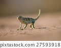 Flap-necked chameleon walking in the sand. 27593918