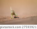 Flap-necked chameleon walking in the sand. 27593921