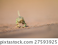 Flap-necked chameleon walking in the sand. 27593925
