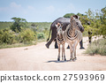 Two bonding Zebras in front of Elephants. 27593969