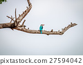 Woodland kingfisher on a branch. 27594042