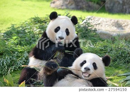 panda, pandas, buddy 27594150