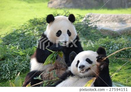 panda, pandas, buddy 27594151