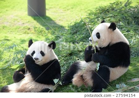 panda, pandas, twin 27594154