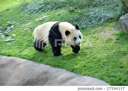 panda, pandas, walk 27594157