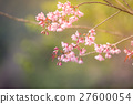 Wild Himalayan Cherry spring blossom 27600054