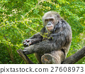 Portrait of chimpanzee 27608973