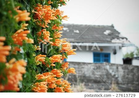 Cannon flower 27613729