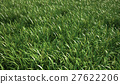 Grass meadow, close view. 27622206