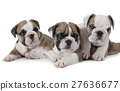 Three English Bulldog puppies 27636677