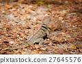 madagascar, iguana, foliage 27645576