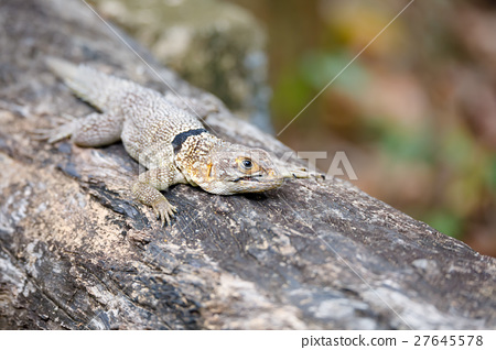 common small collared iguanid lizard, madagascar 27645578