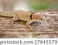 madagascar, iguana, tree 27645579