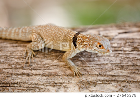common small collared iguanid lizard, madagascar 27645579