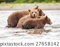 Three little bear cub swimming in the lake 27658142