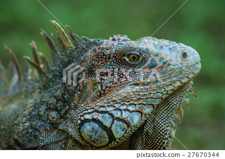 綠鬣蜥3 27670344